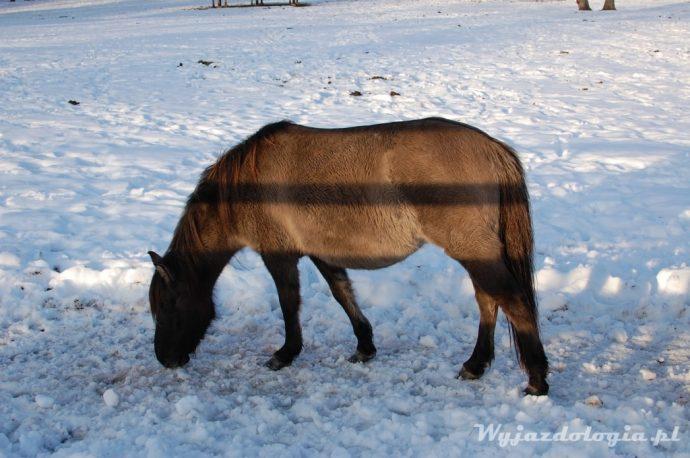 koń w białowieży