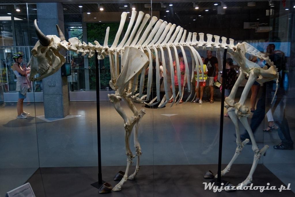 żubr szkielet