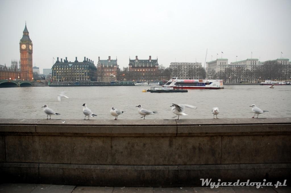 ptaki w londynie