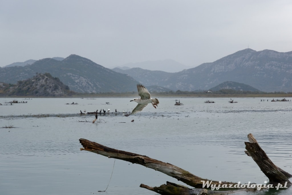 w czarnogórze warto zobaczyć Jezioro Szkoderskie