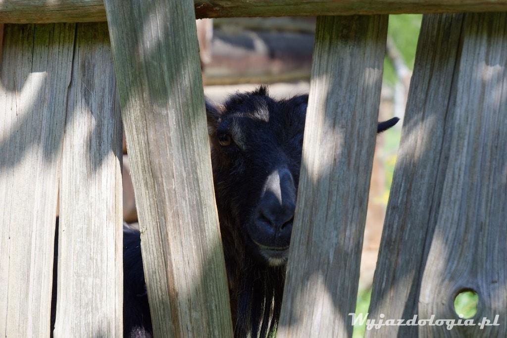 Koza w Kolbuszowej