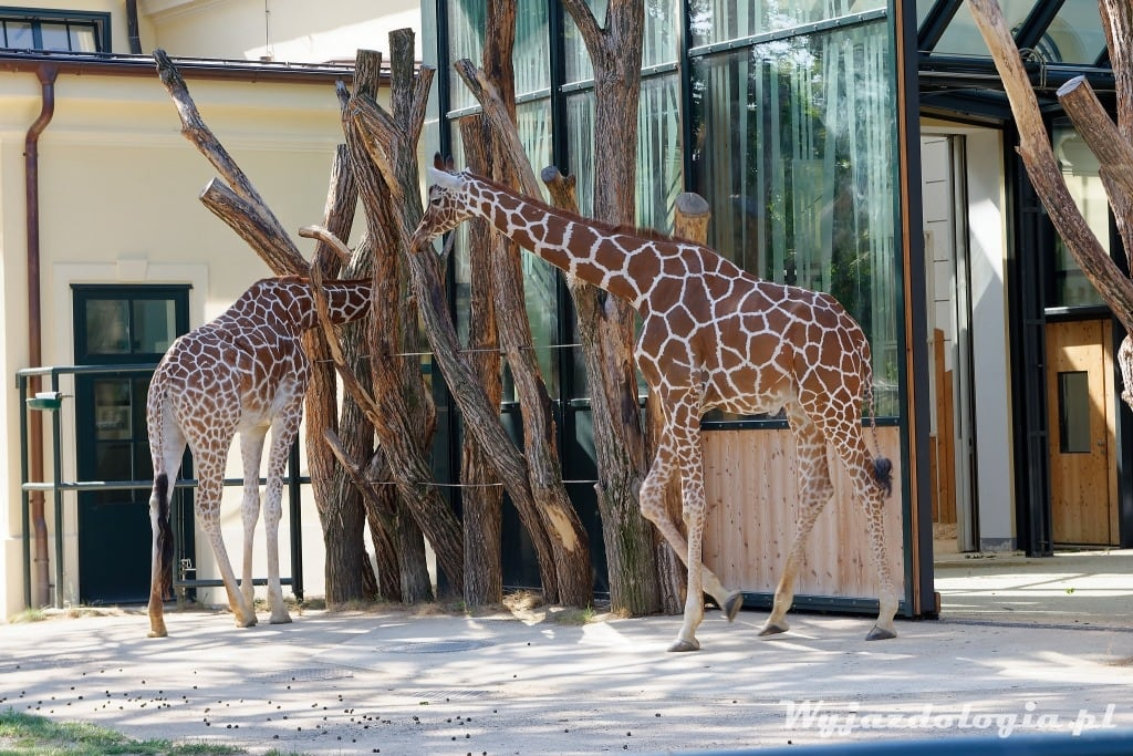 wiedeńskie żyrafy